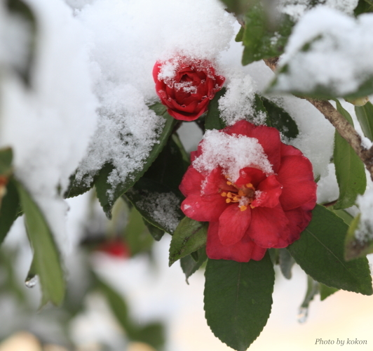 camellia._c0200027_21571724.jpg