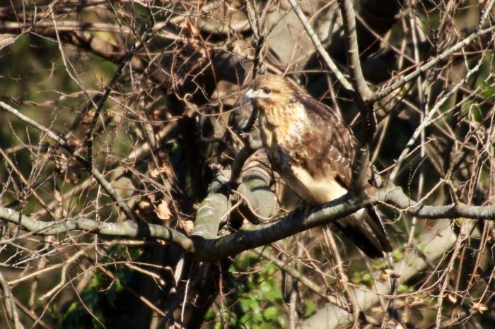 2014.1.19 マイフィールドで鳥見・里山公園・シメ、ノスリ_c0269342_19001282.jpg