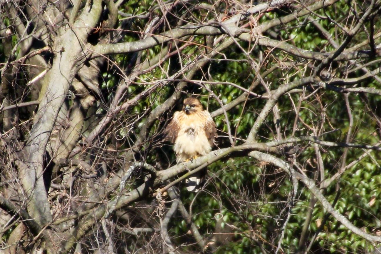 2014.1.19 マイフィールドで鳥見・里山公園・シメ、ノスリ_c0269342_19004234.jpg