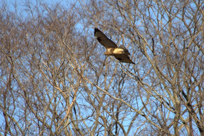 2014.1.19 マイフィールドで鳥見・里山公園・シメ、ノスリ_c0269342_19033642.jpg