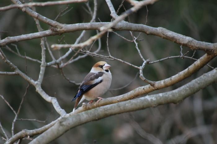 2014.1.19 マイフィールドで鳥見・里山公園・シメ、ノスリ_c0269342_19044621.jpg