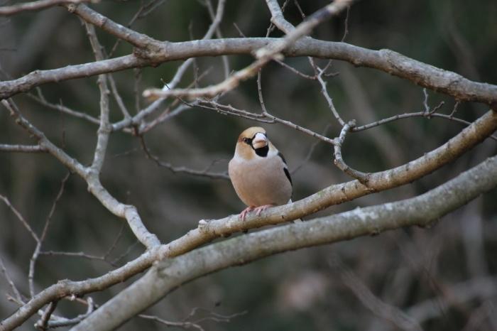 2014.1.19 マイフィールドで鳥見・里山公園・シメ、ノスリ_c0269342_19053891.jpg
