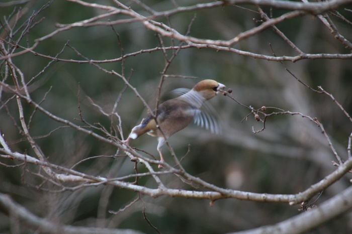 2014.1.19 マイフィールドで鳥見・里山公園・シメ、ノスリ_c0269342_19060504.jpg