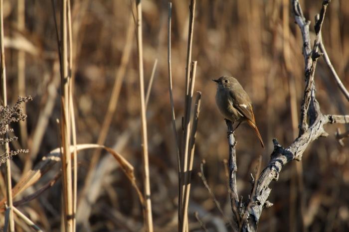 2014.1.19 マイフィールドで鳥見・里山公園・シメ、ノスリ_c0269342_19064350.jpg
