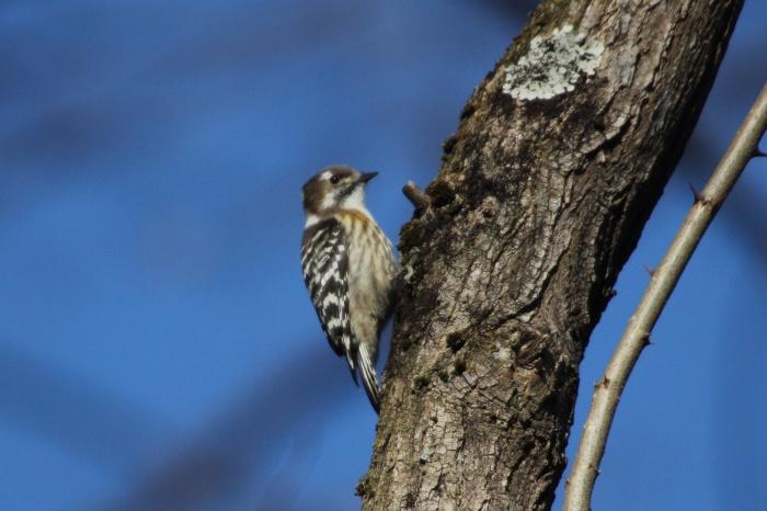 2014.1.19 マイフィールドで鳥見・里山公園・シメ、ノスリ_c0269342_19081523.jpg