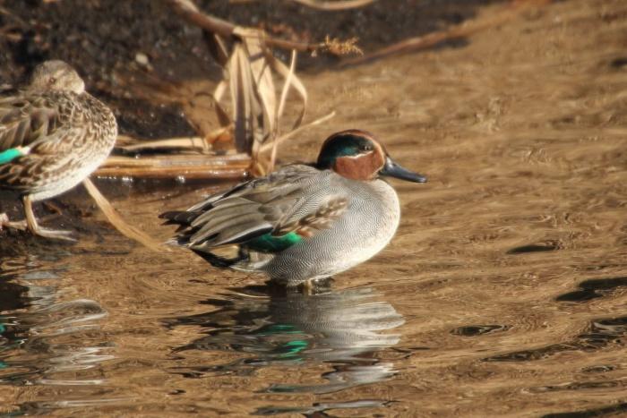 2014.1.19 マイフィールドで鳥見・里山公園・シメ、ノスリ_c0269342_19094532.jpg