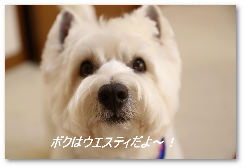☆ウエスティカット☆_a0161111_16273926.jpg