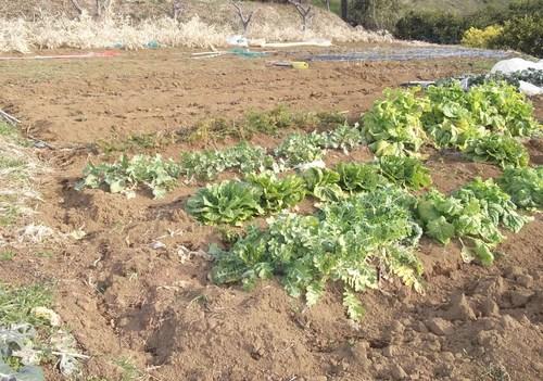 大寒ですが、畑を耕しました。_b0137932_21245332.jpg