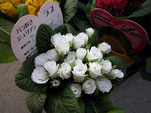バラ咲きジュリアンが「かわいい!」_c0141652_18301753.jpg
