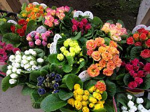 バラ咲きジュリアンが「かわいい!」_c0141652_18301756.jpg