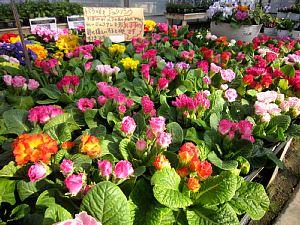 バラ咲きジュリアンが「かわいい!」_c0141652_1830788.jpg