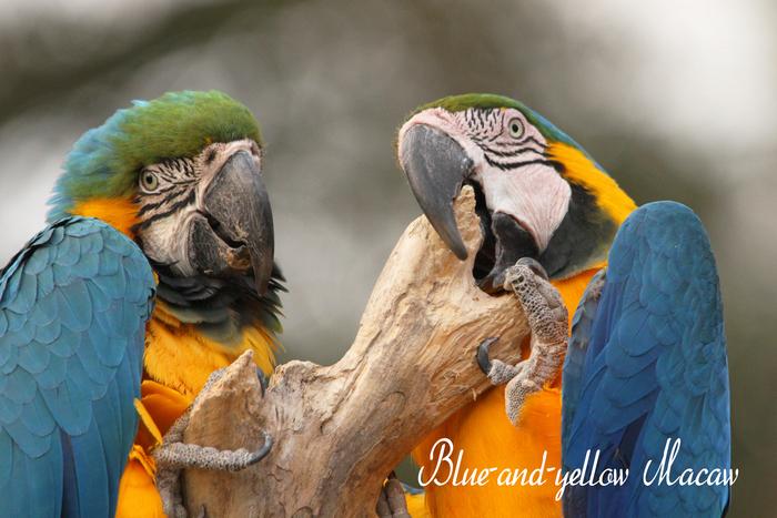 ルリコンゴウインコ:Blue-and-yellow Macaw_b0249597_5422576.jpg
