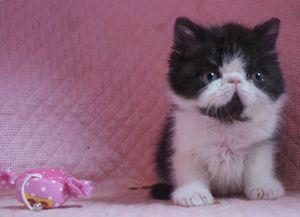 エキゾチックショートヘアー子猫 家族募集_e0033609_1724174.jpg