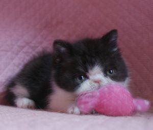 エキゾチックショートヘアー子猫 家族募集_e0033609_172434100.jpg