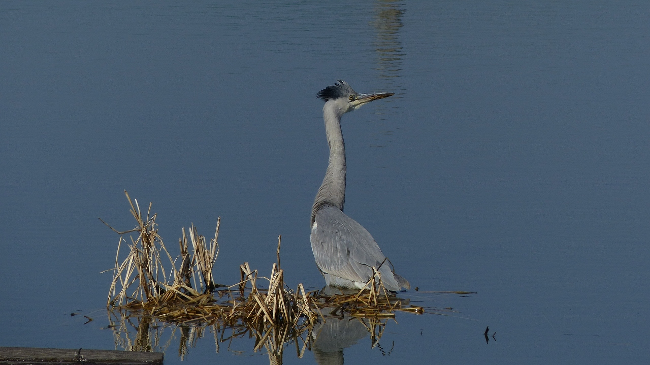 【 日記 2014 1/22 (水) 】 沼の怪鳥!_a0185081_16213192.jpg