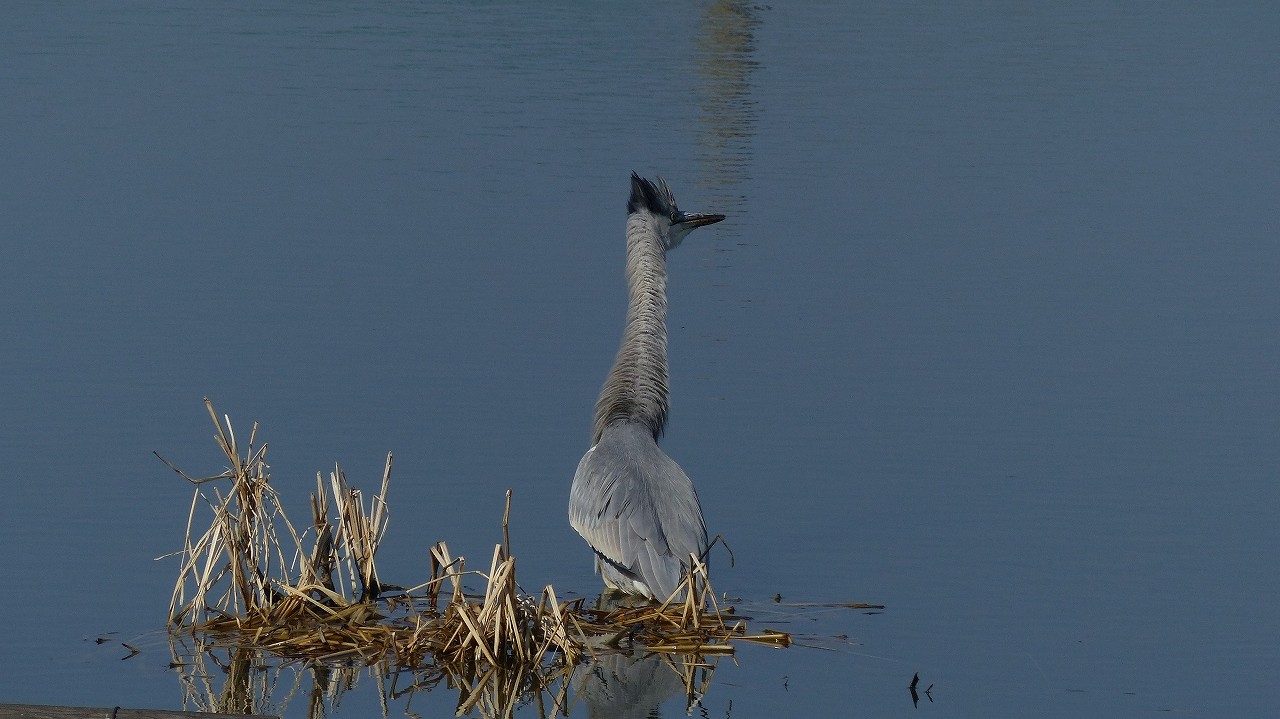 【 日記 2014 1/22 (水) 】 沼の怪鳥!_a0185081_16214272.jpg