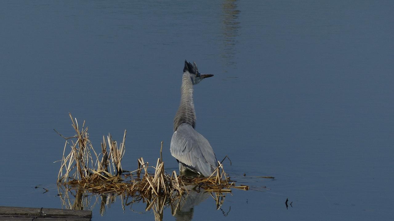 【 日記 2014 1/22 (水) 】 沼の怪鳥!_a0185081_16215412.jpg