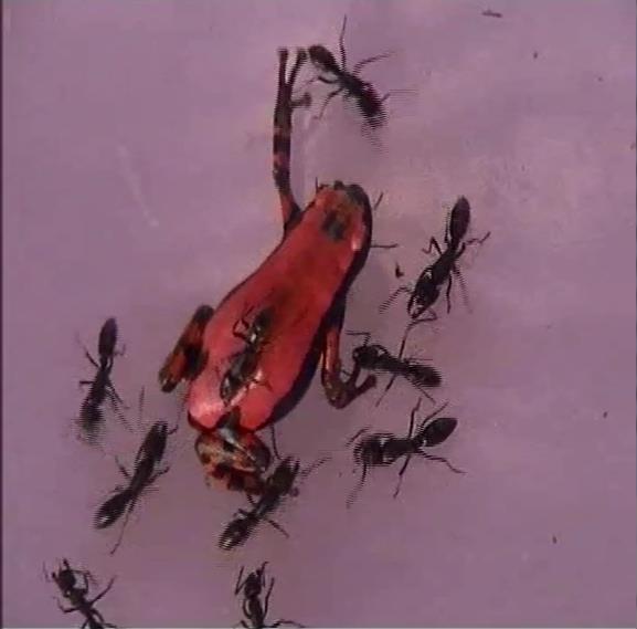 アリに対して「化学擬態」するカエル_c0025115_19282448.jpg