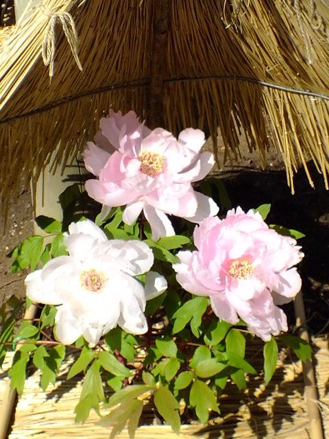 1月22日 鎌倉の牡丹と梅_e0145782_14472722.jpg