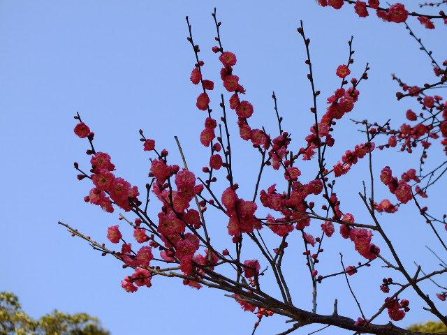 1月22日 鎌倉の牡丹と梅_e0145782_14491644.jpg