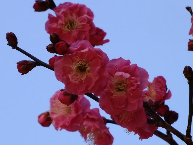 1月22日 鎌倉の牡丹と梅_e0145782_14494026.jpg