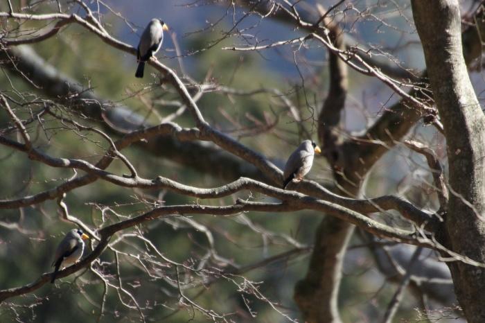 2014.1.24 ここにも冬鳥居ません・箱根芦ノ湖・イカル、コイカル、ツグミ、アオゲラ_c0269342_18214714.jpg