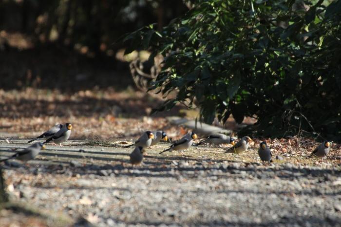 2014.1.24 ここにも冬鳥居ません・箱根芦ノ湖・イカル、コイカル、ツグミ、アオゲラ_c0269342_18221939.jpg