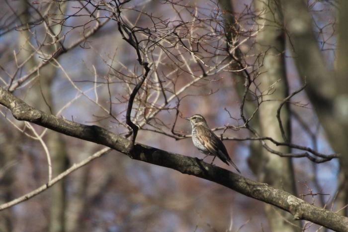 2014.1.24 ここにも冬鳥居ません・箱根芦ノ湖・イカル、コイカル、ツグミ、アオゲラ_c0269342_18231614.jpg