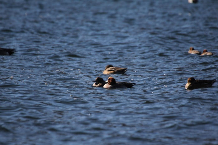 2014.1.24 ここにも冬鳥居ません・箱根芦ノ湖・イカル、コイカル、ツグミ、アオゲラ_c0269342_18235889.jpg