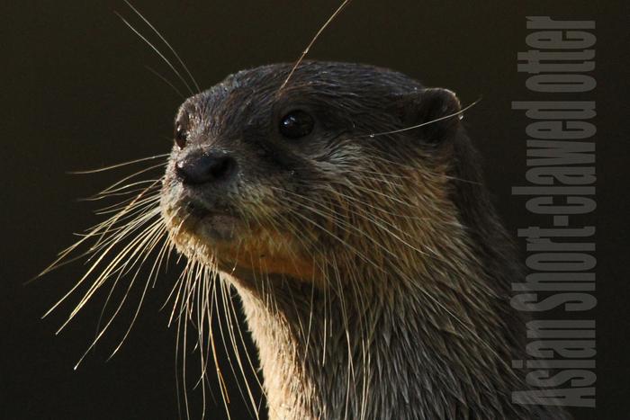 コツメカワウソ:Asian Short-clawed otter_b0249597_5122431.jpg