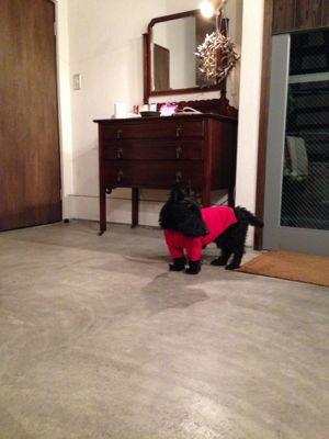 赤いセーターの犬_e0055098_8225233.jpg