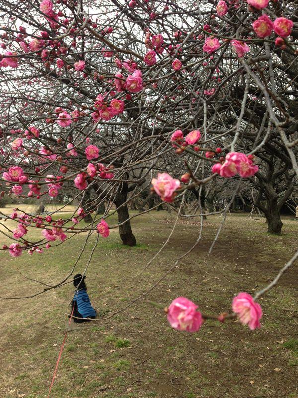 梅の花が咲き始めました、_d0266681_183487.jpg