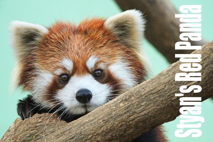 シセンレッサーパンダ:Styan\'s Red Panda _b0249597_8273287.jpg