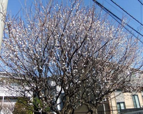 温暖気候で、梅の花が咲きました。_b0137932_22111911.jpg