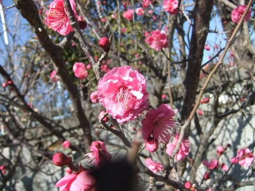 温暖気候で、梅の花が咲きました。_b0137932_22122334.jpg