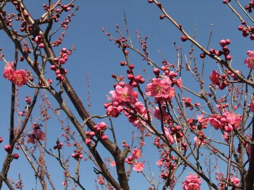 温暖気候で、梅の花が咲きました。_b0137932_2212887.jpg