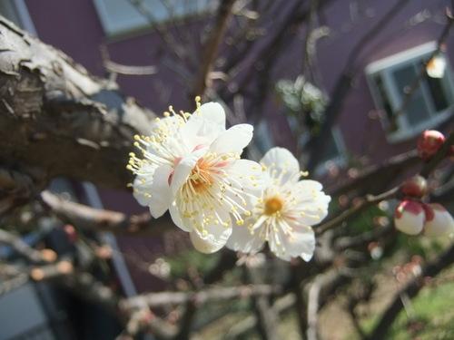 温暖気候で、梅の花が咲きました。_b0137932_22134441.jpg