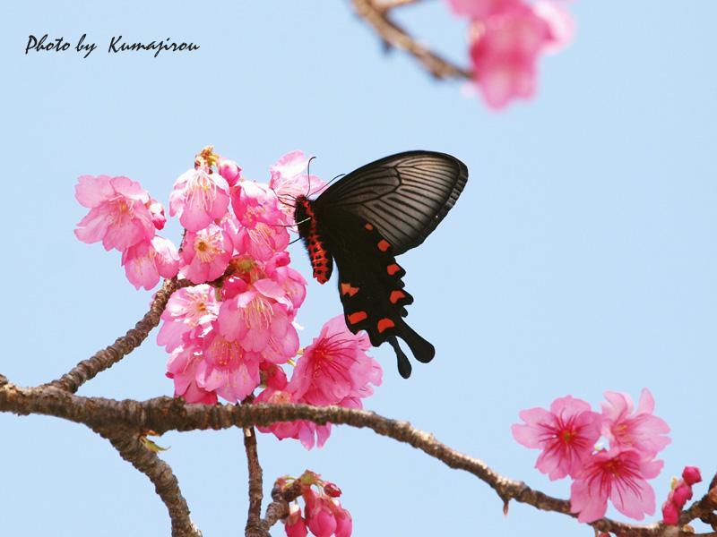 リュウキュウカンヒザクラの花とジャコウアゲハ_b0192746_16593782.jpg