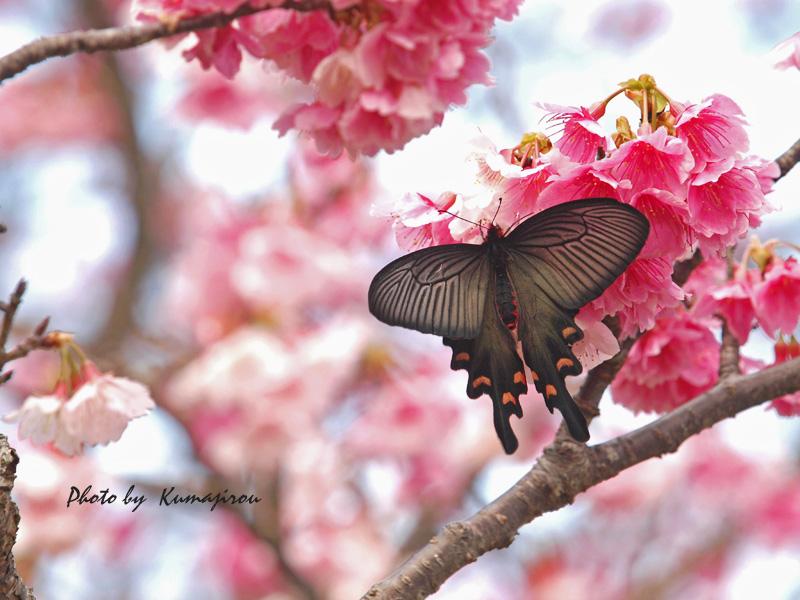 リュウキュウカンヒザクラの花とジャコウアゲハ_b0192746_17002427.jpg