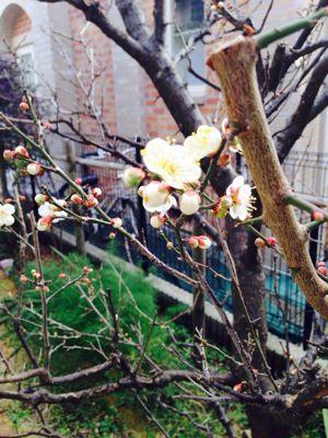 本日定休日。 梅が咲いてきました。_a0145471_8254858.jpg