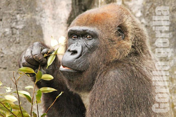 ニシゴリラ:Gorilla gorilla _b0249597_5245364.jpg