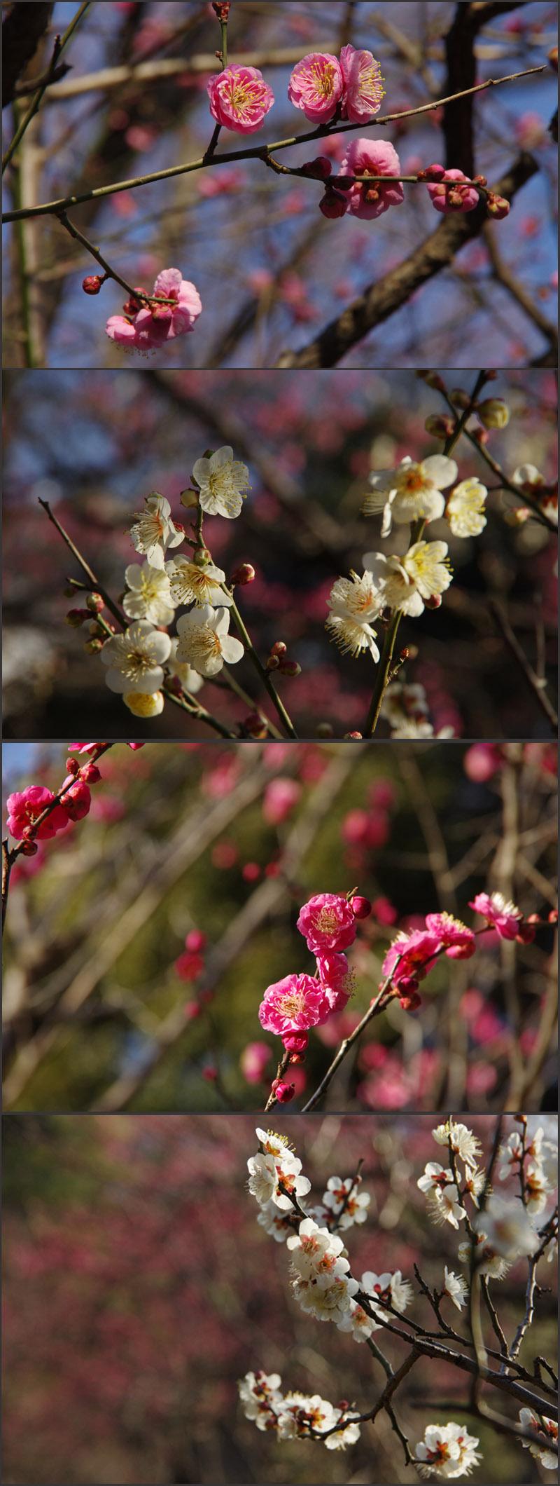 梅いろいろ(小石川後楽園)_b0019313_17535676.jpg