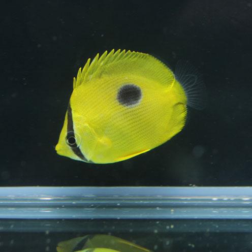 海水魚&サンゴ入荷!!_d0221436_22401514.jpg