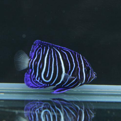 海水魚&サンゴ入荷!!_d0221436_22405118.jpg