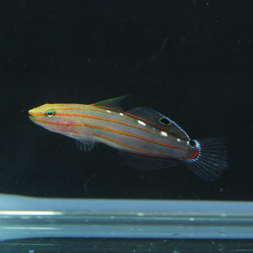 海水魚&サンゴ入荷!!_d0221436_22411587.jpg