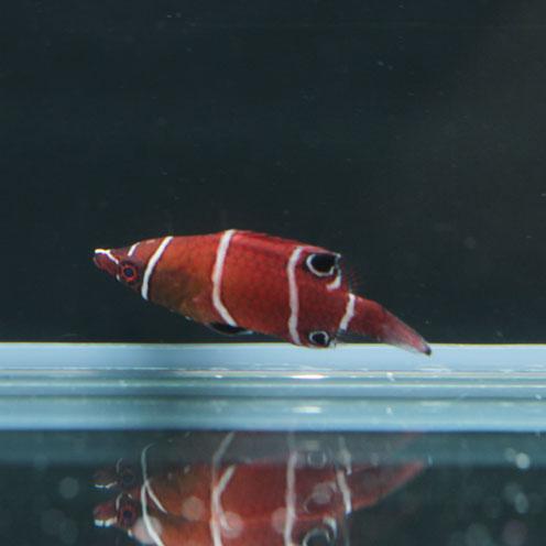 海水魚&サンゴ入荷!!_d0221436_22433047.jpg