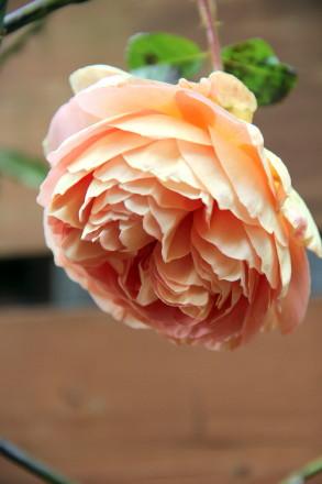 ◆フロントガーデンのバラたち_e0154682_23160085.jpg