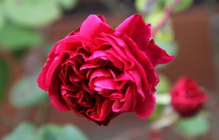 ◆フロントガーデンのバラたち_e0154682_23170904.jpg