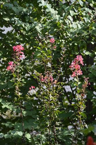 2013年 8-9月の庭…_c0124100_2351782.jpg