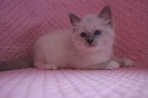 ラグドール子猫 家族募集 男の子_e0033609_16153276.jpg